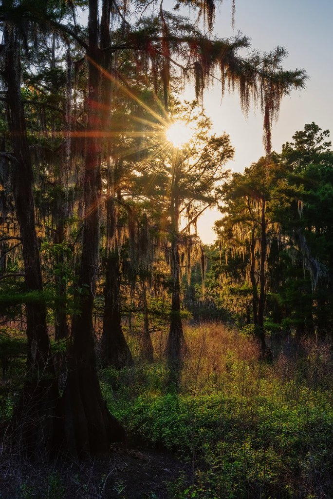The sun refracted through cypress branches beside Cheniere Lake.